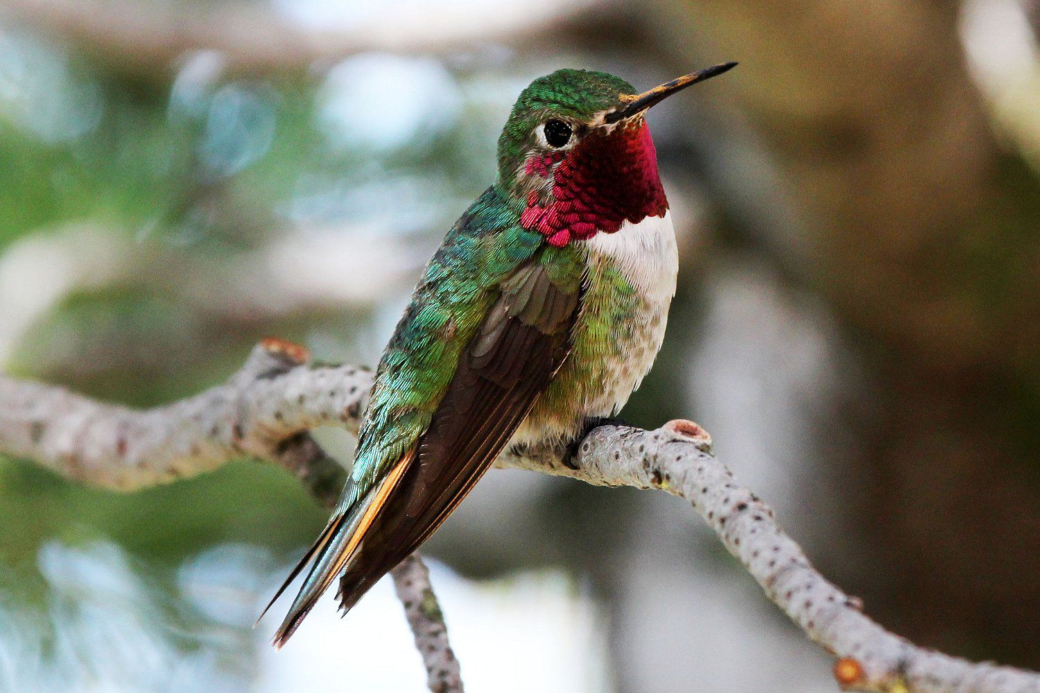 Best Small Bathroom Colors Broad Tailed And Ruby Throated Hummingbird Id Tips