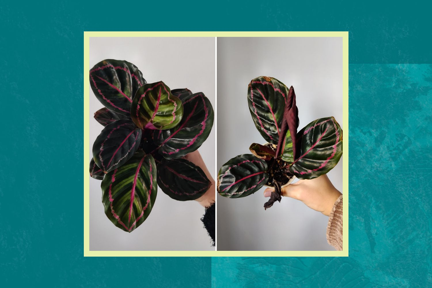 A dying a calathea. Left: January 2021 and Right: March 2021