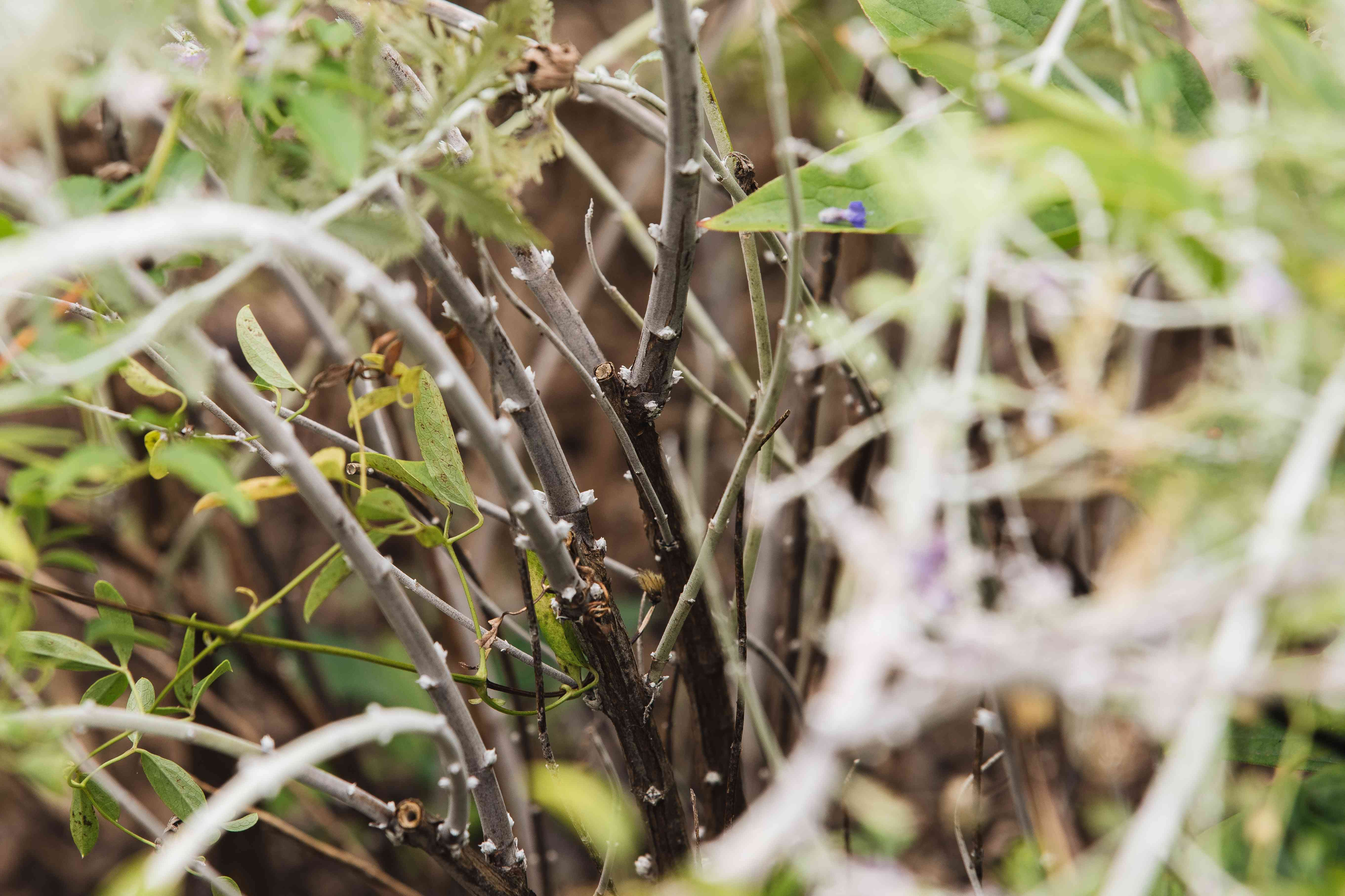 woody stems of Russian sage