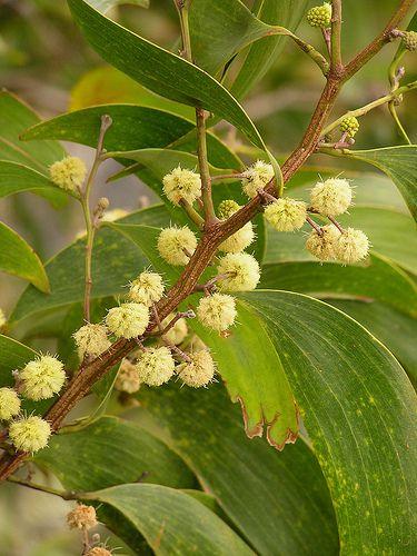 Acacia trees and shrubs from around the world acacia koa mightylinksfo