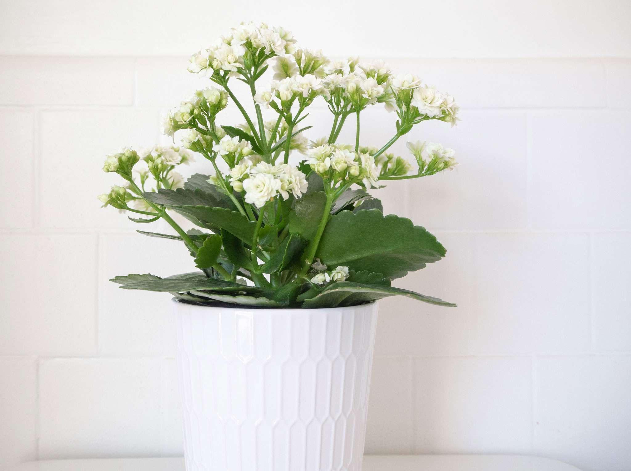 a kalanchoe plant indoors