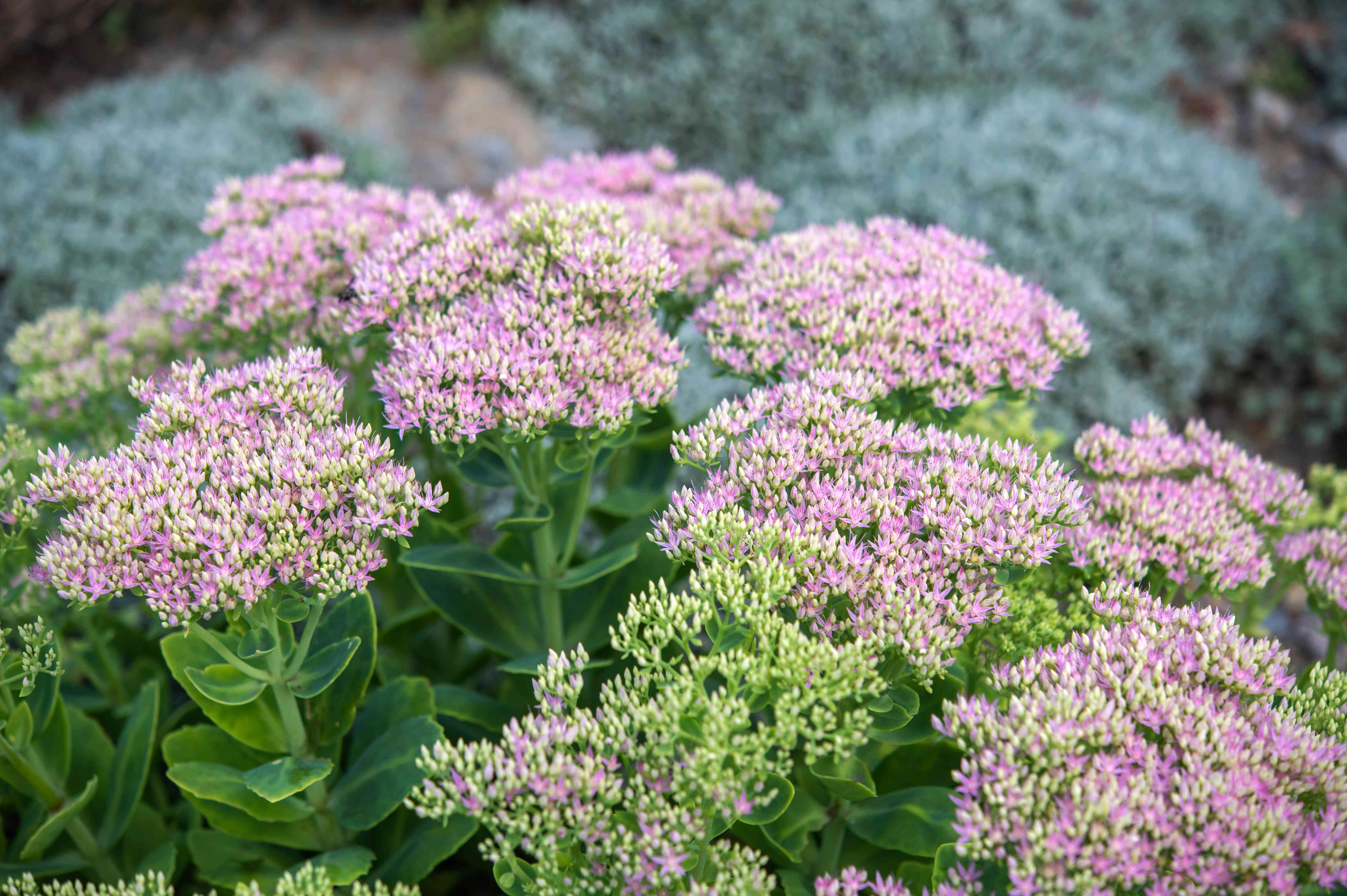 Sedum succulent with pink starlike flowers and buds