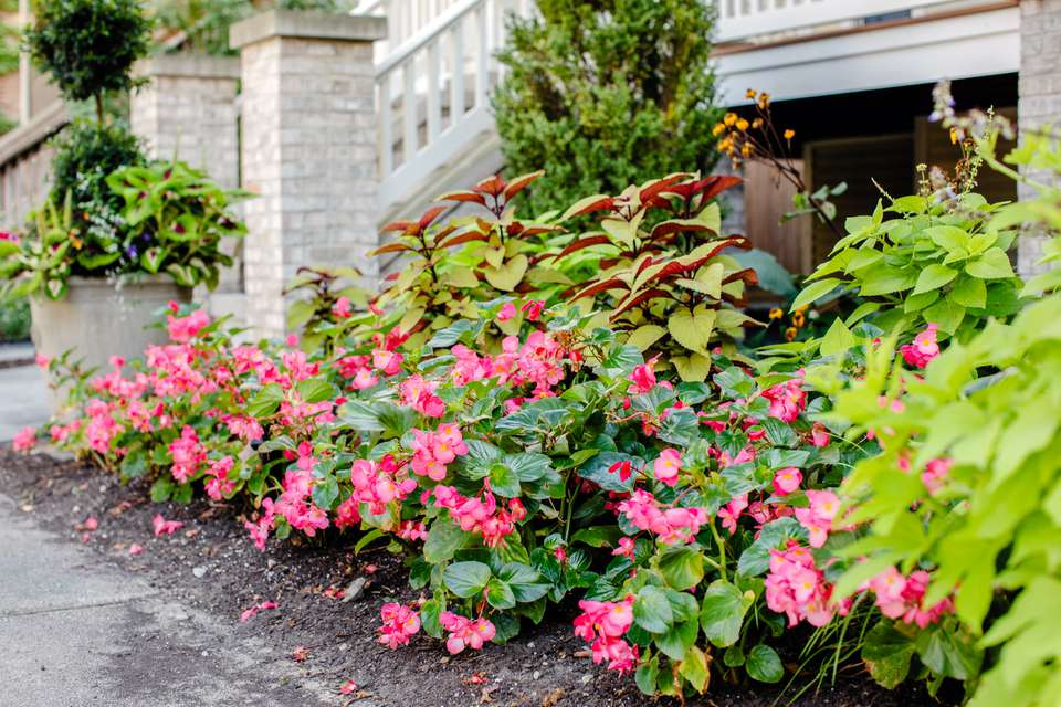 Wax begonia plants with clusters light pink flowers and waxy leaves in front of north-facing house