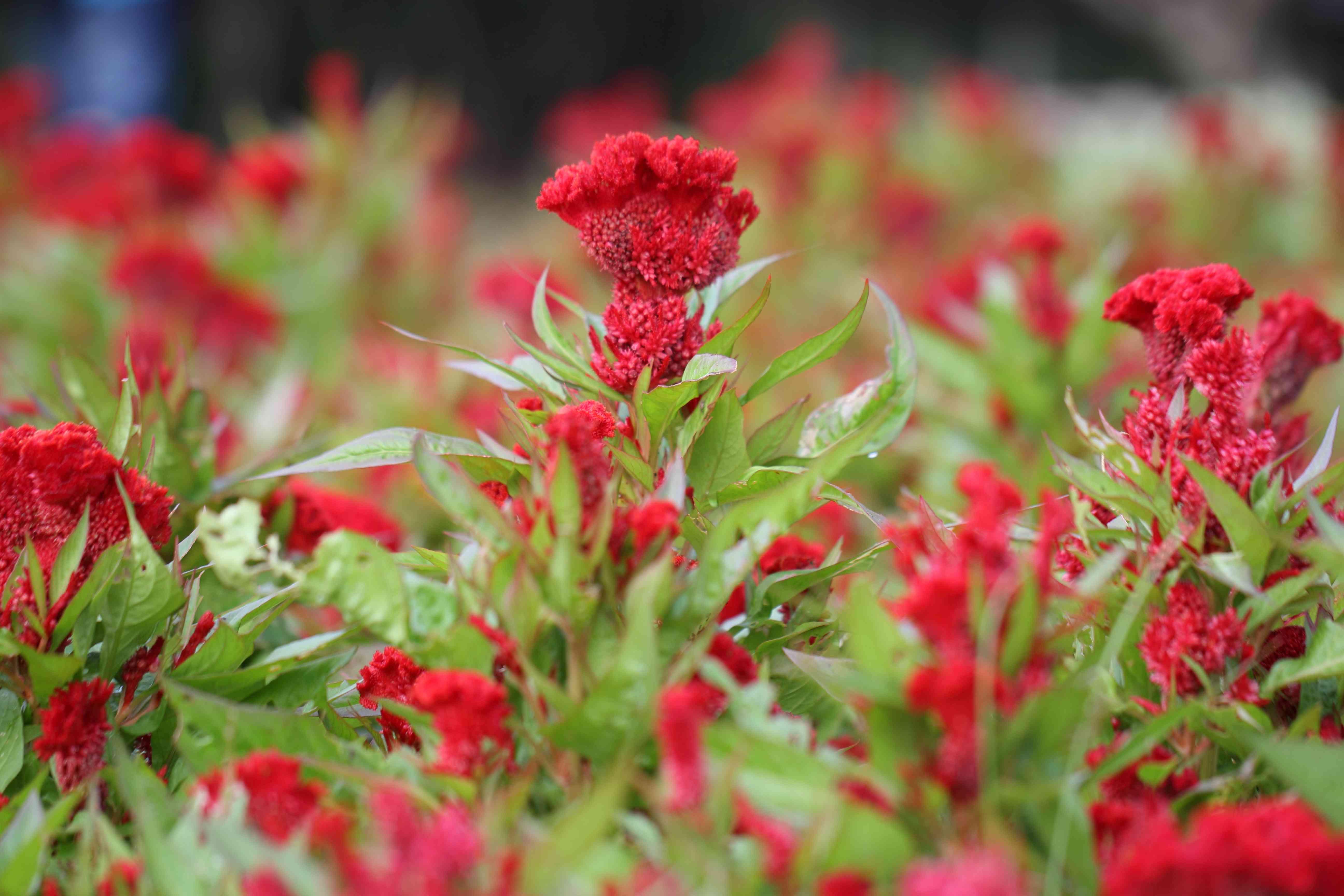 red Cockscomb flowers