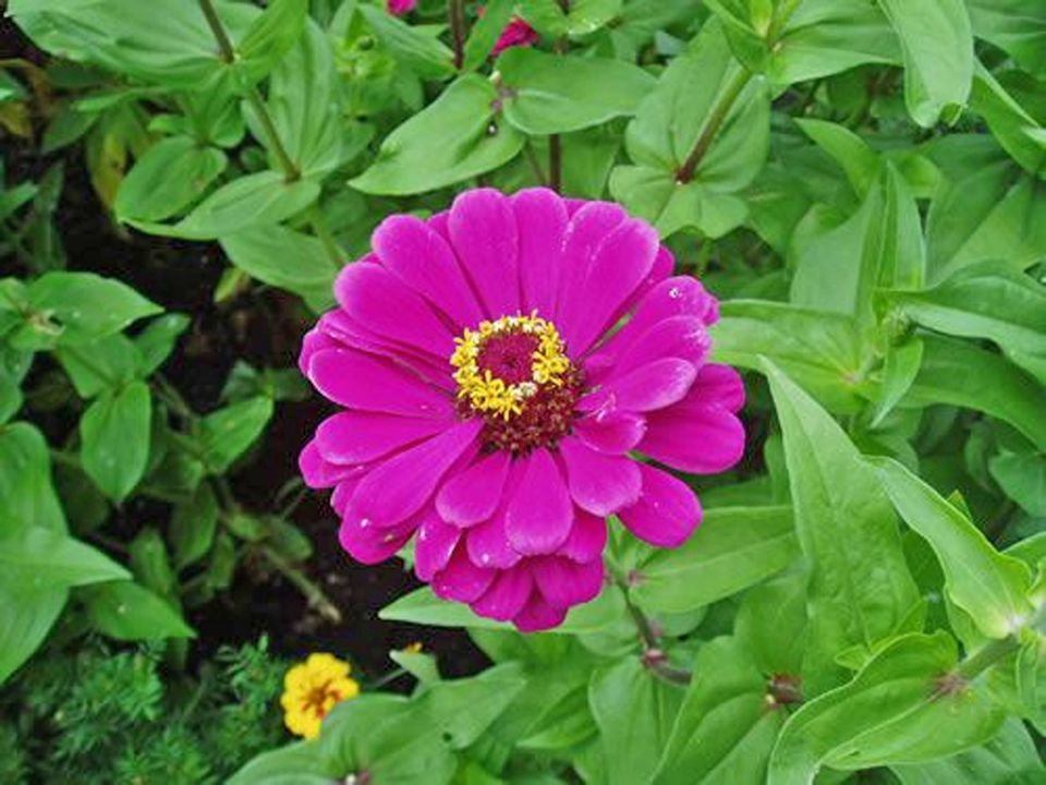 "Zinnia ""Royal Purple"""