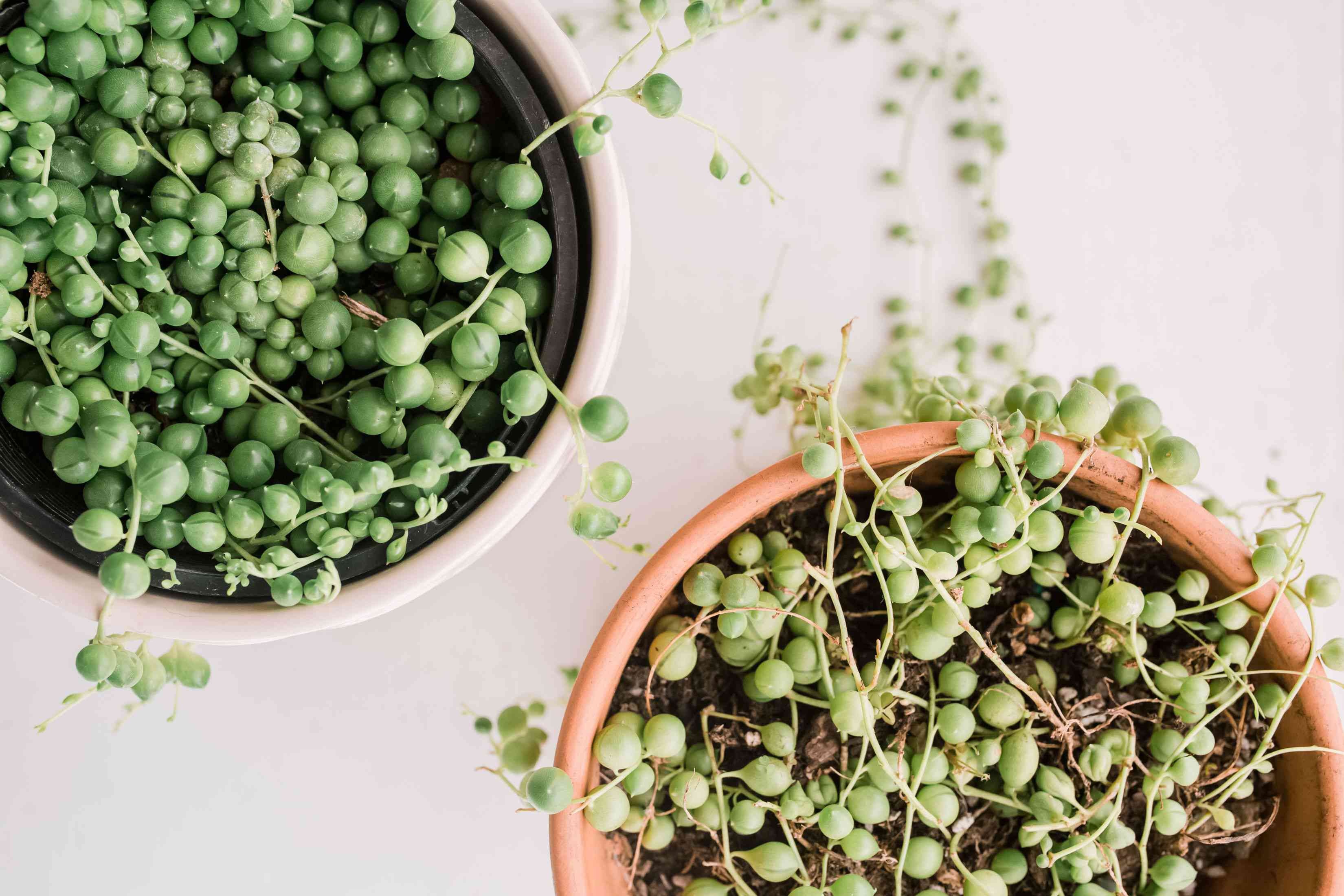 String of pearls plant with small green bead-like succulent leaves in terracotta and white pots closeup