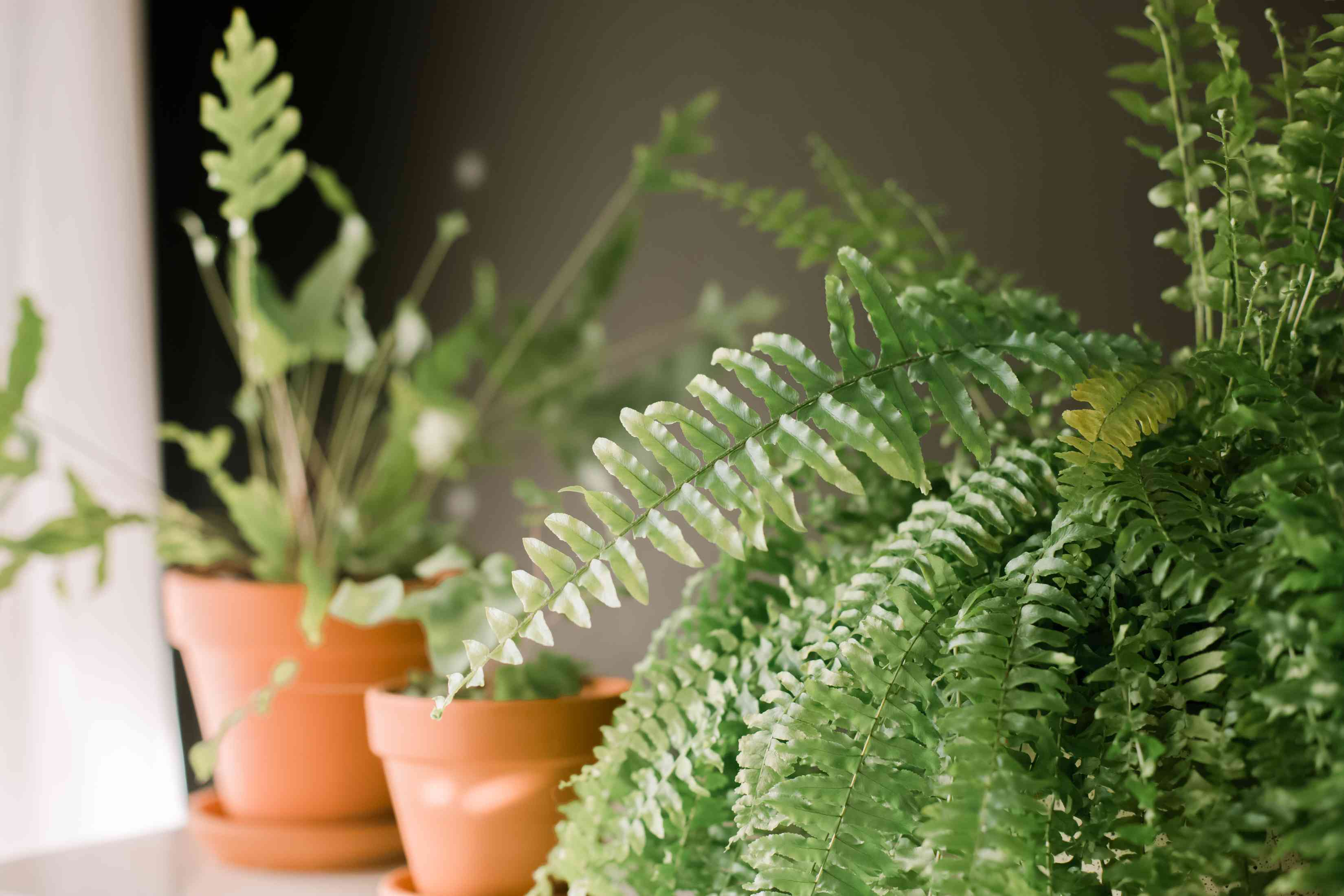 closeup of Boston fern with others in the background