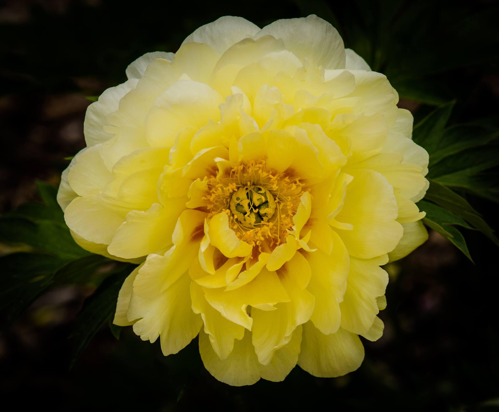 Flor amarilla de peonía arbórea , Planta de yuca con filamentos que salen de sus hojas