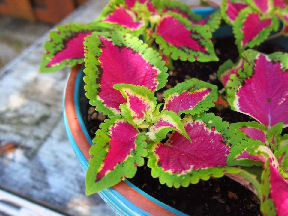 Planta de coleo