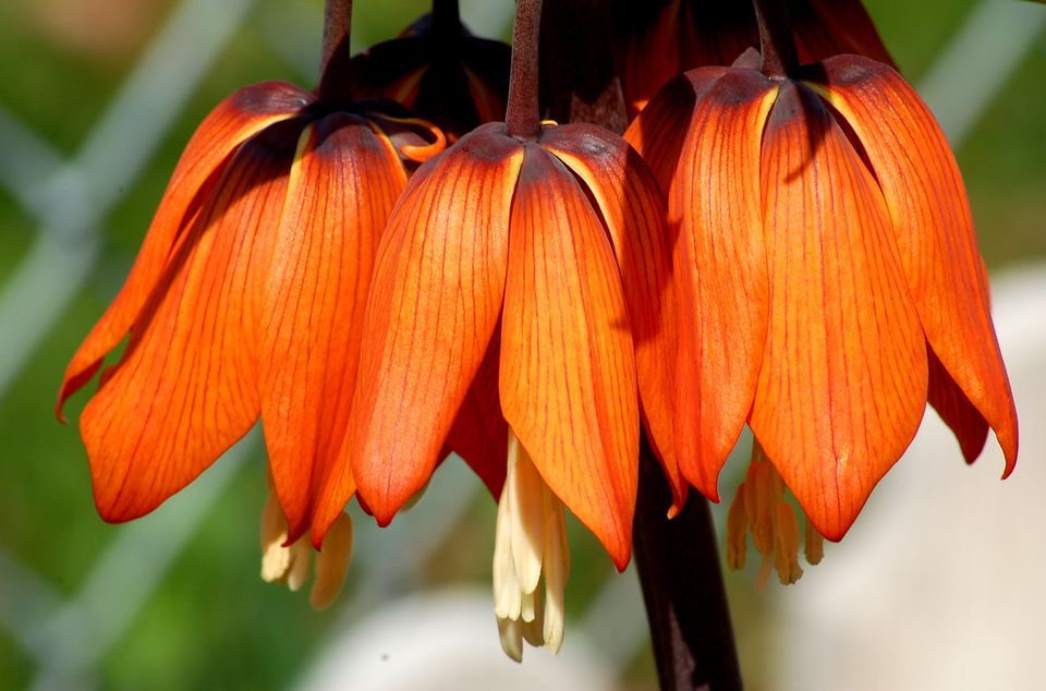 Fritillaria with its spectacular flowers.