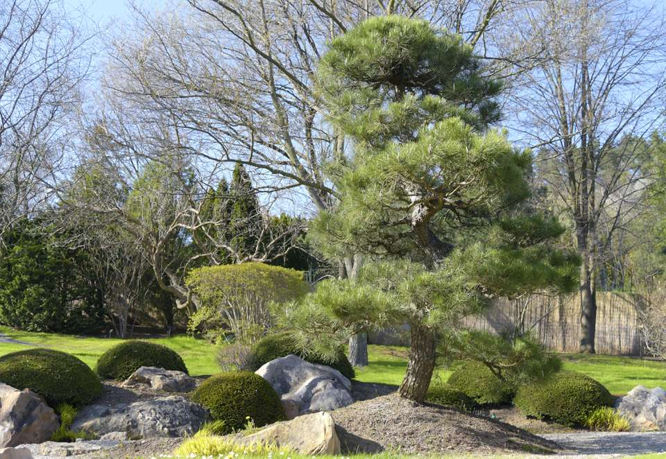 Japanese black pine plant in middle of zen garden