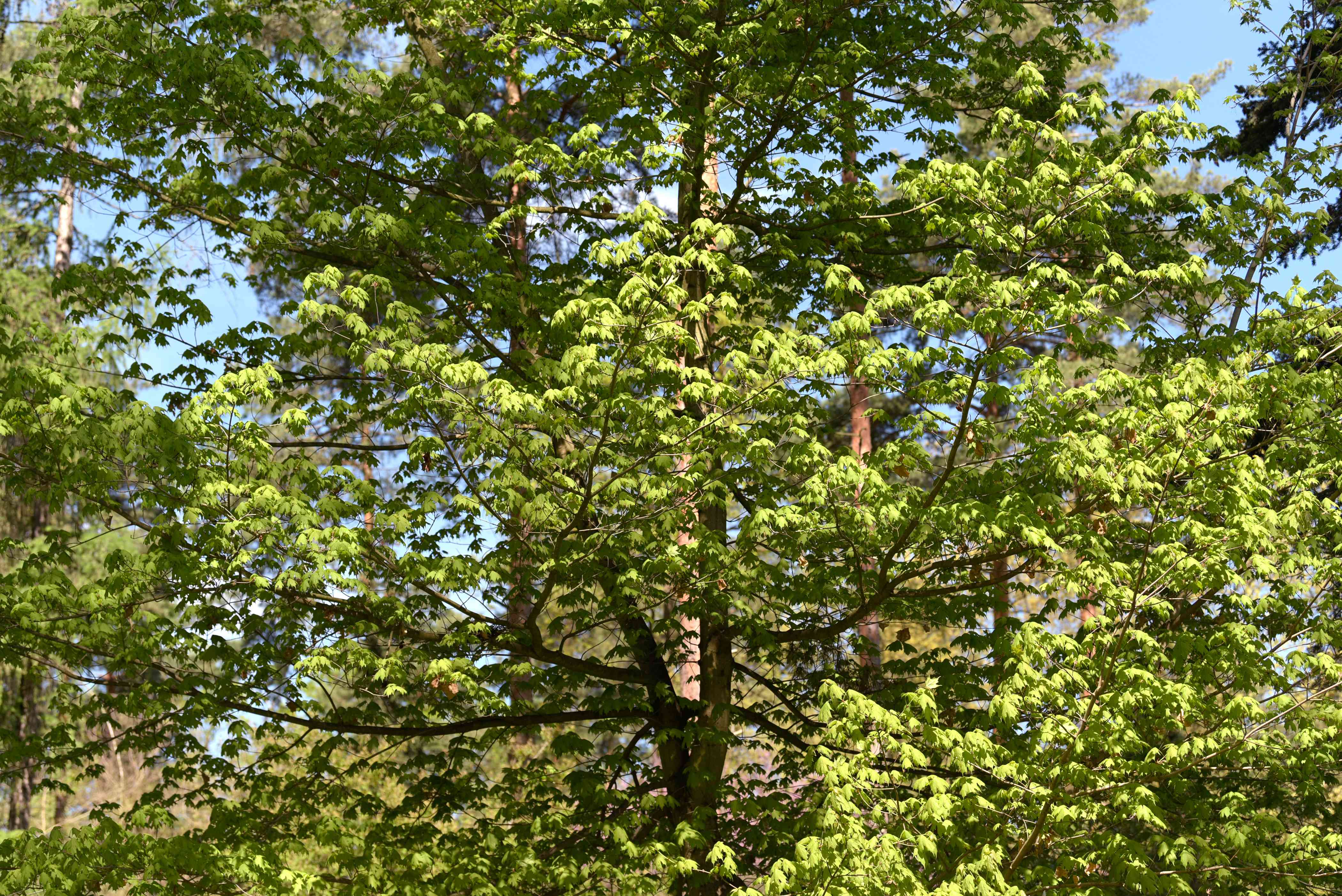 Sugar maple tree with long branches and bright green leaves in sunlight