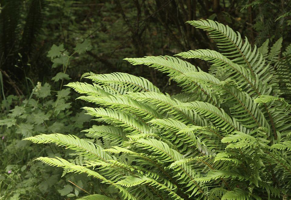 Western sword ferns (Polystichum munitum) growing in the forest.