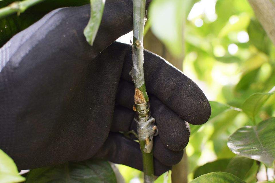 Plant stem with grafting held by hand with black gloves