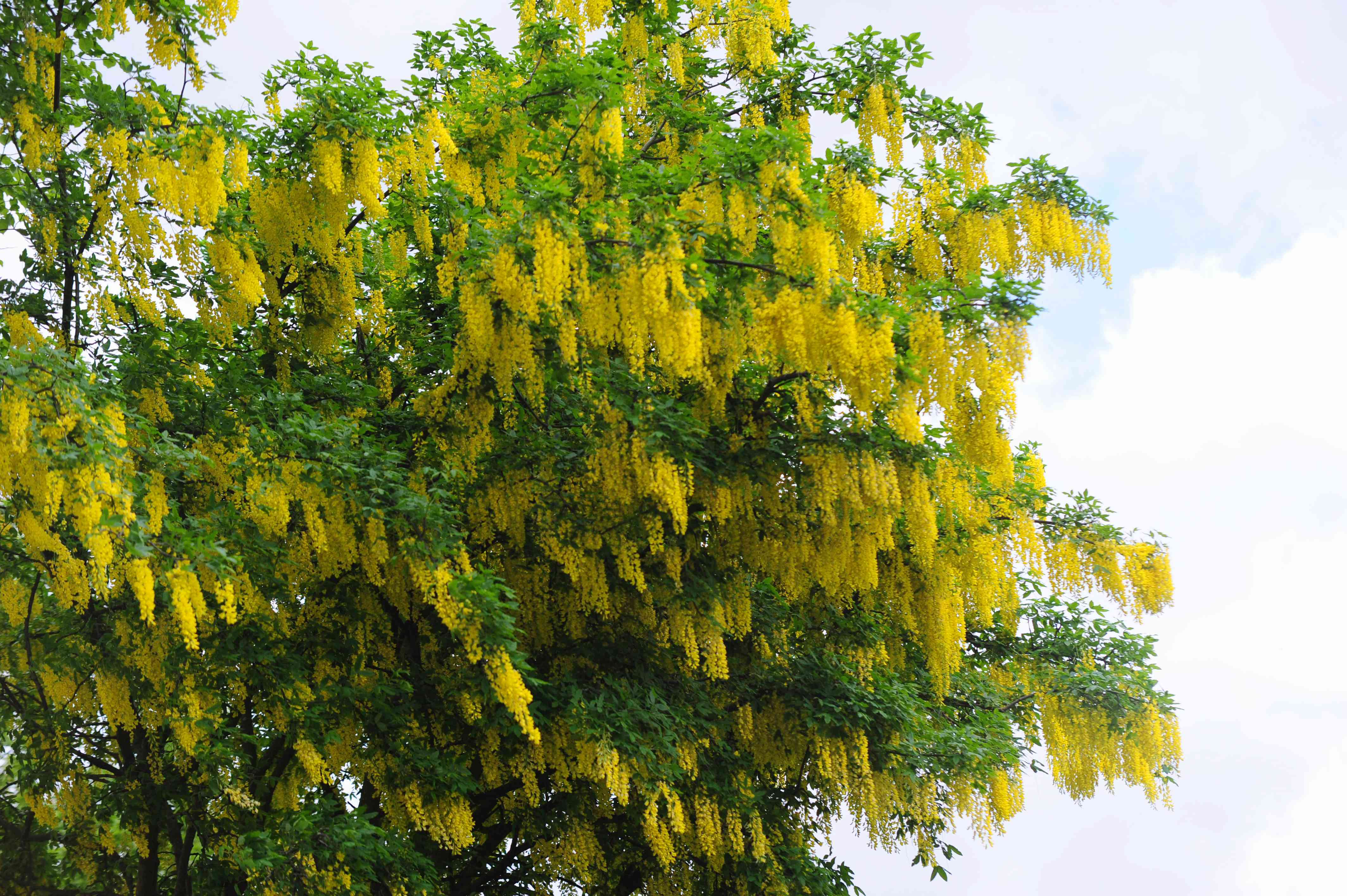 Golden chain tree with golden-yellow flowers and leaves blowing in wind