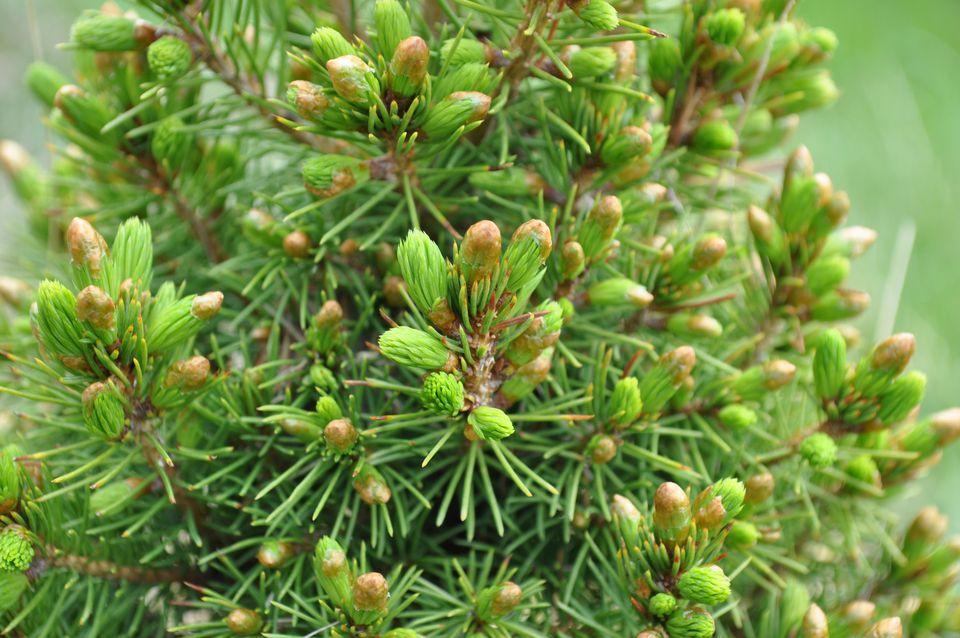 Dwarf Alberta spruce tree close-up.