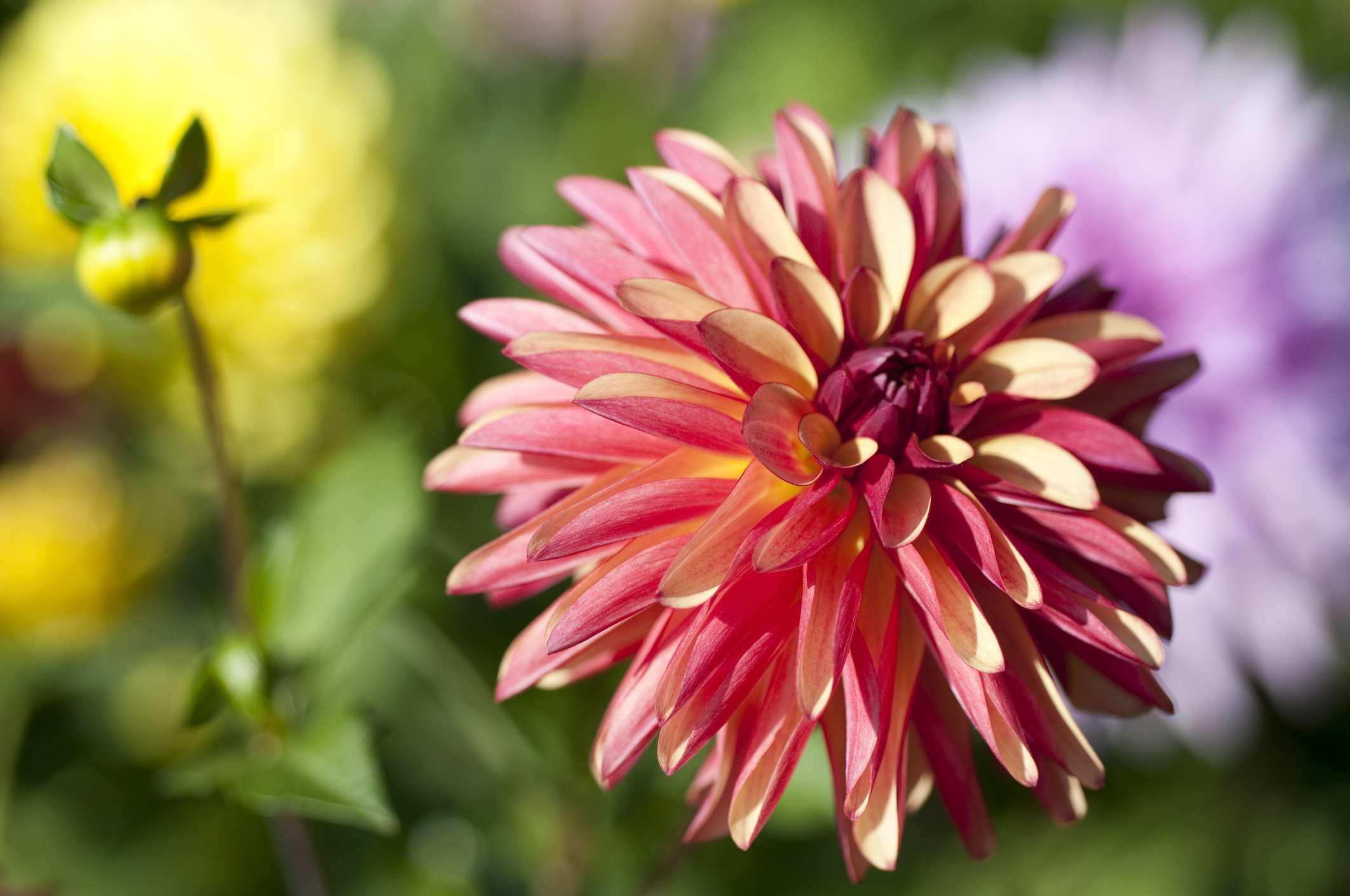 15 Gorgeous Must Plant Dahlias