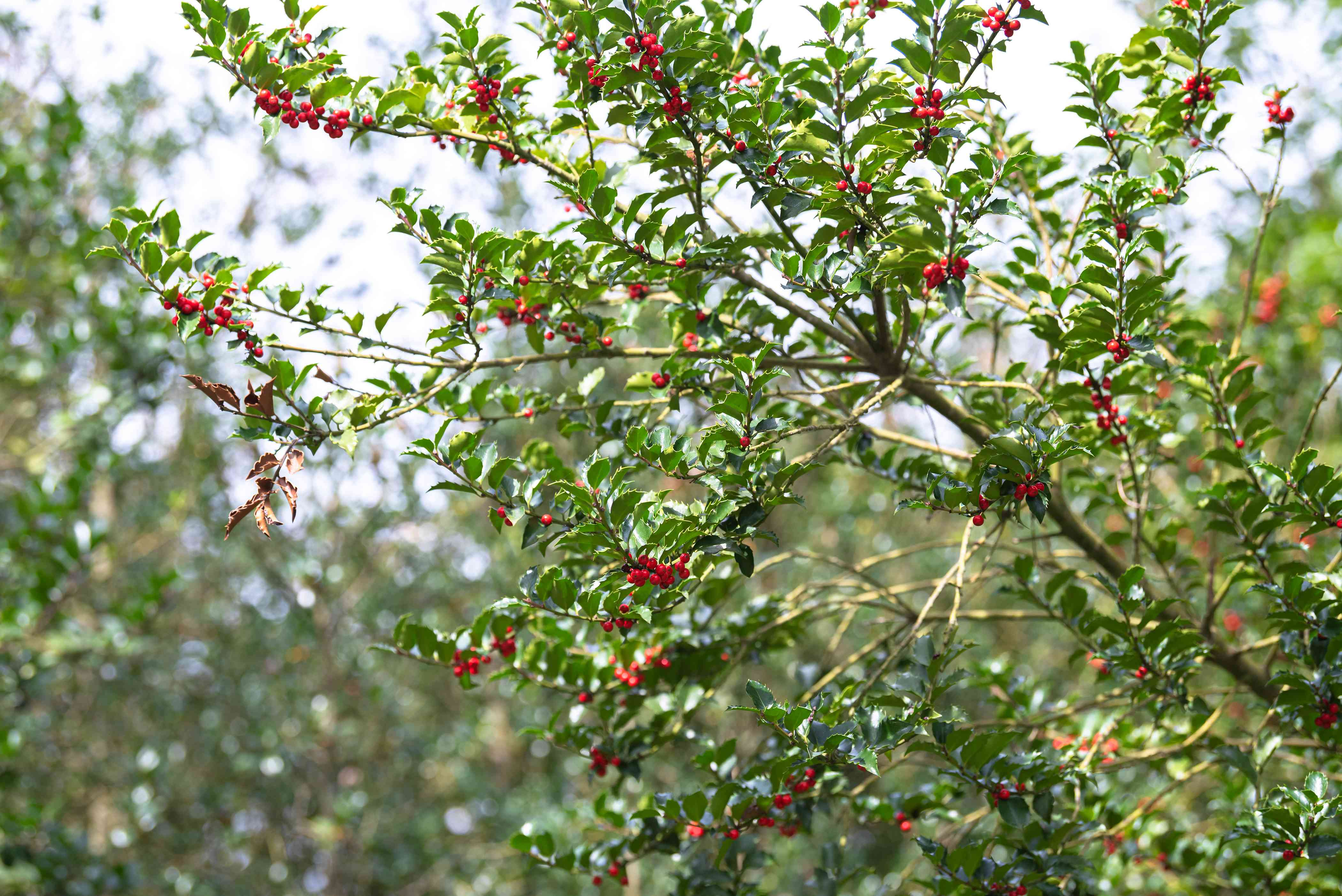 Blue princess holly shrub branches with bright red berries and small glossy leaves