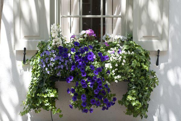 Window box with cordyline, viola, foxtail fern, petunia and ivy