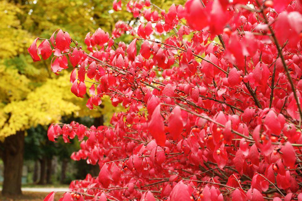 Arbusto arbusto con su follaje de otoño.
