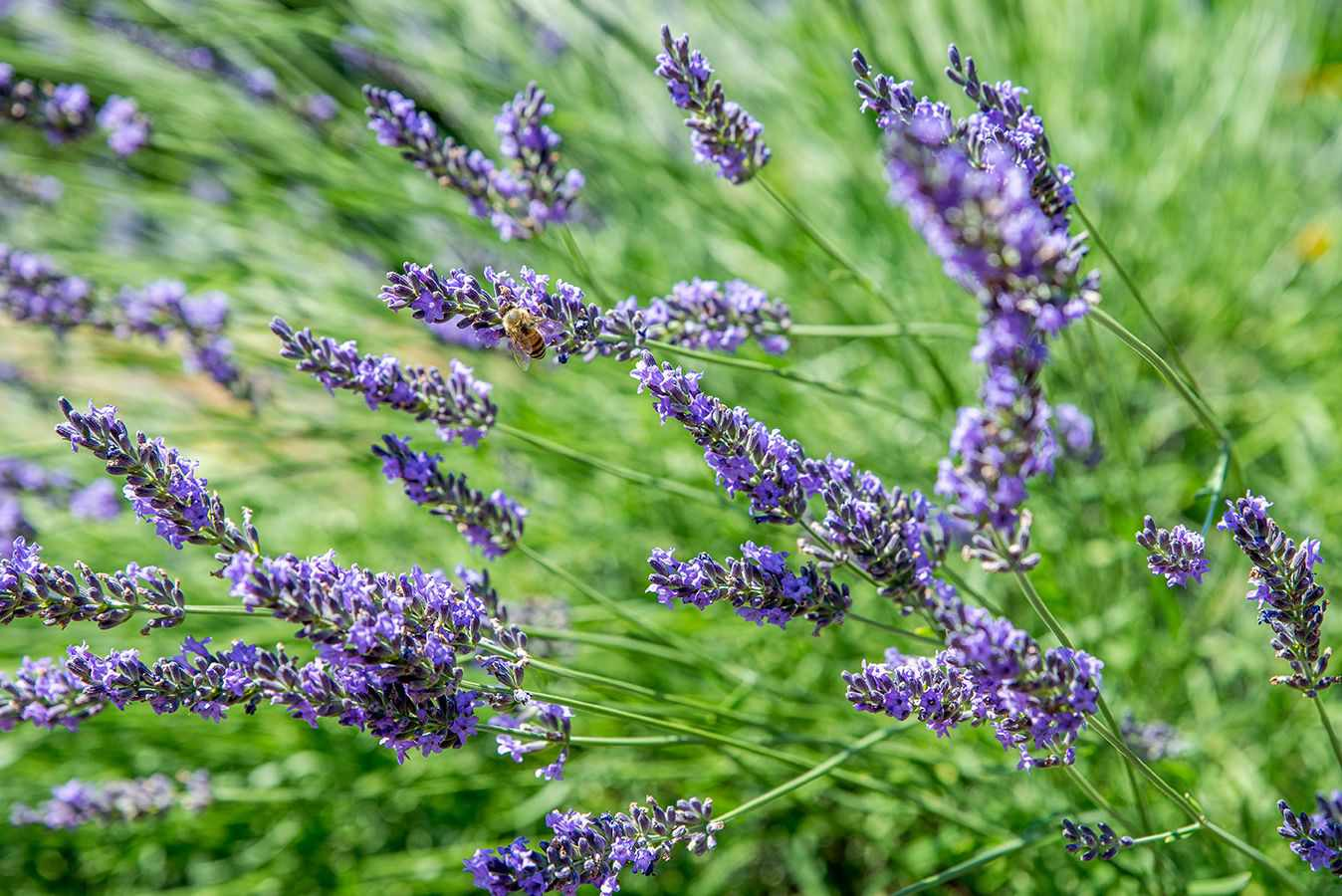 Lavender plant with small purple flowers on end of thin stems