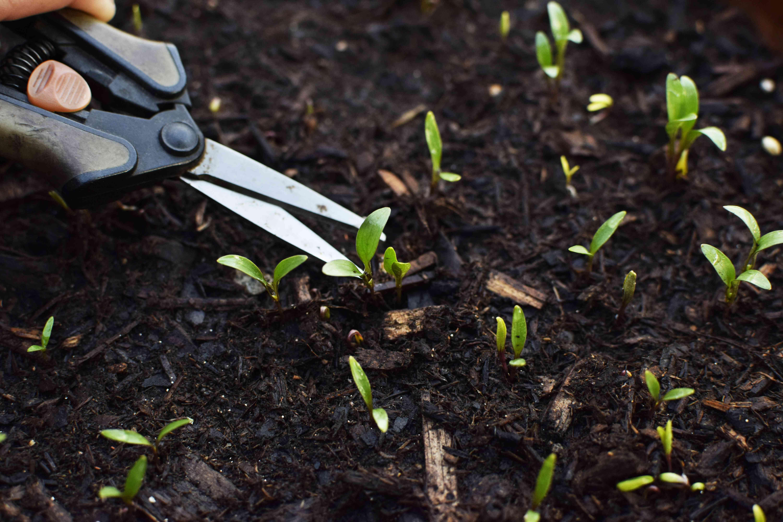 removing unwanted seedlings