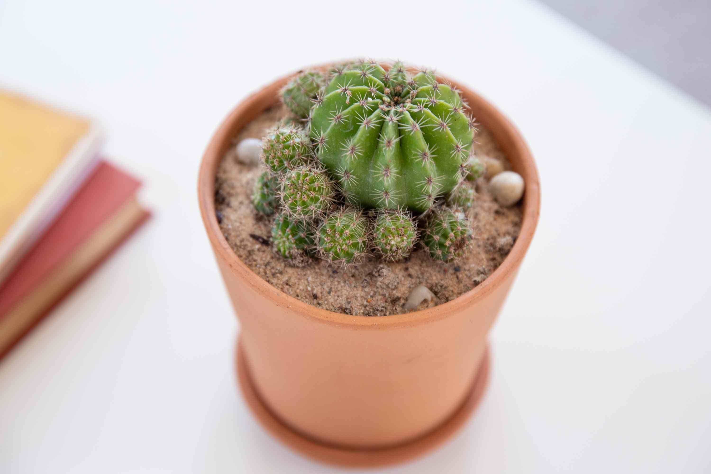 parodia cactus closeup