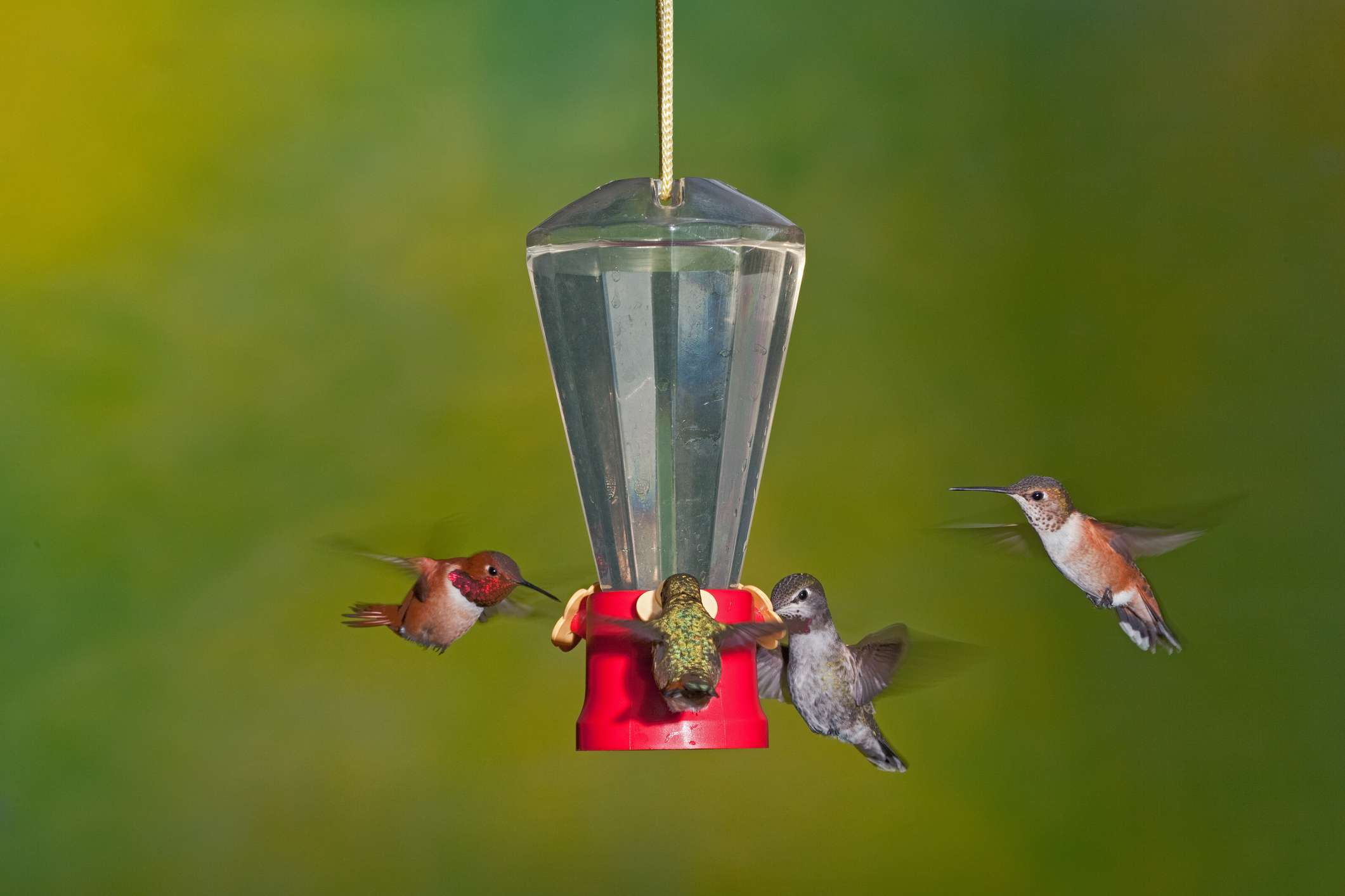 Four hummingbirds eating out of a hummingbird feeder.