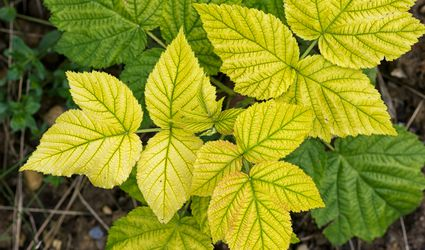 Raspberry leaves turning yellow due to nutrient deficiency