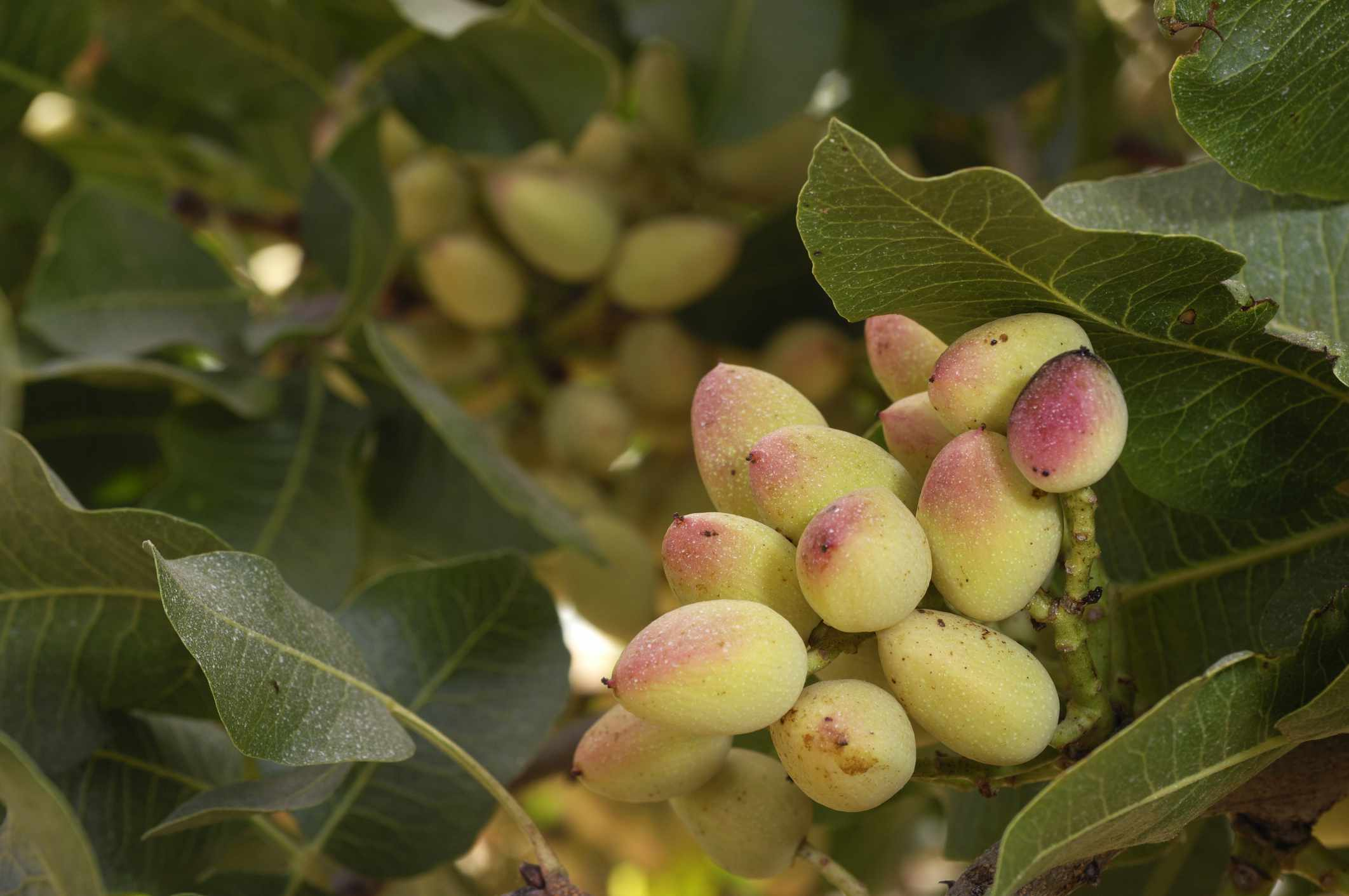 Ripening pistachio nuts on tree