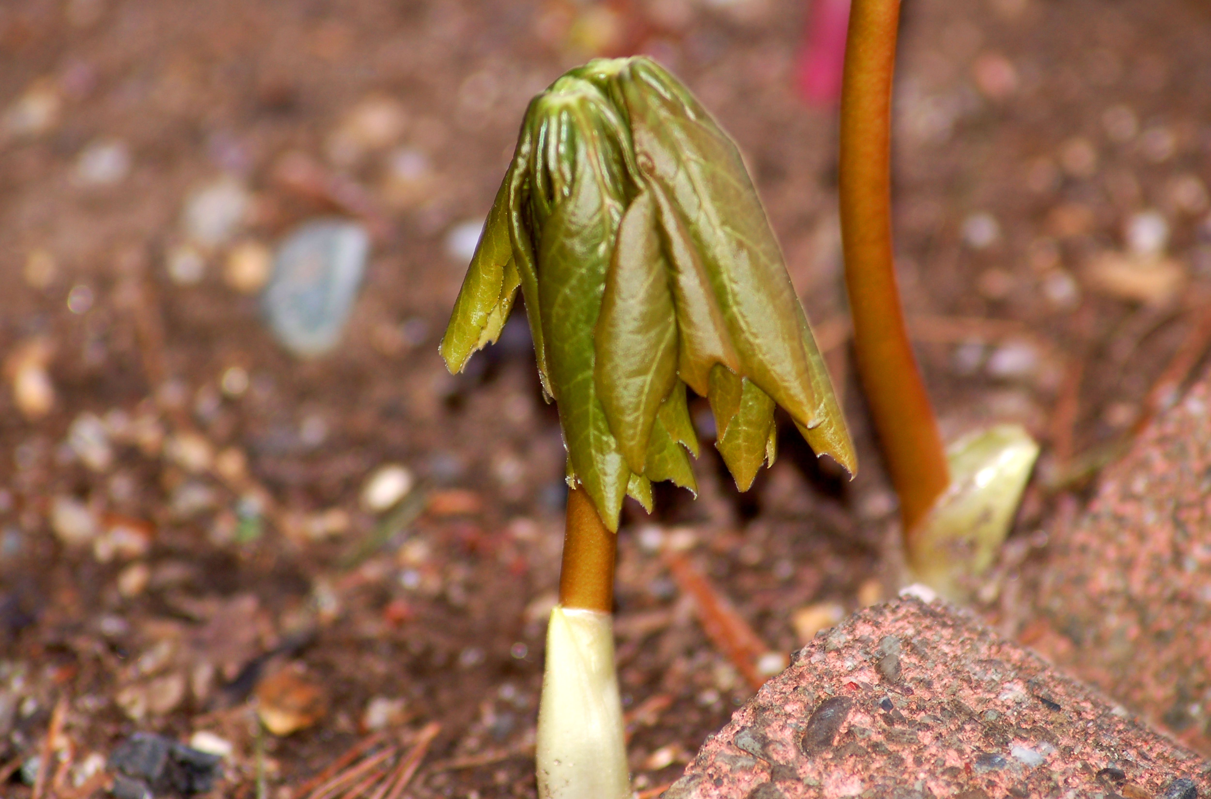 mayapple leaves unfurling