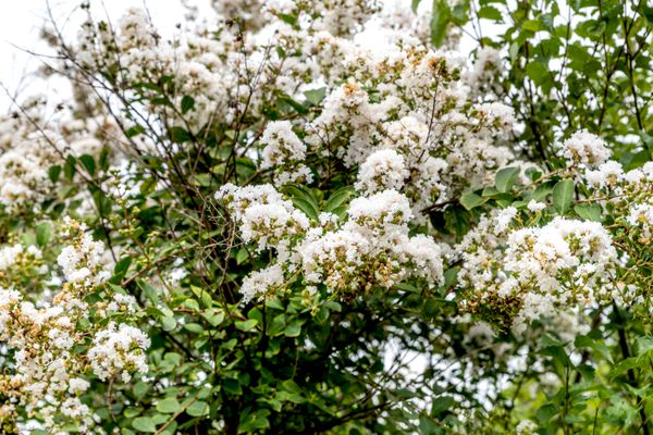 Acoma crepe myrtle tree with white bloom clusters on weeping branches