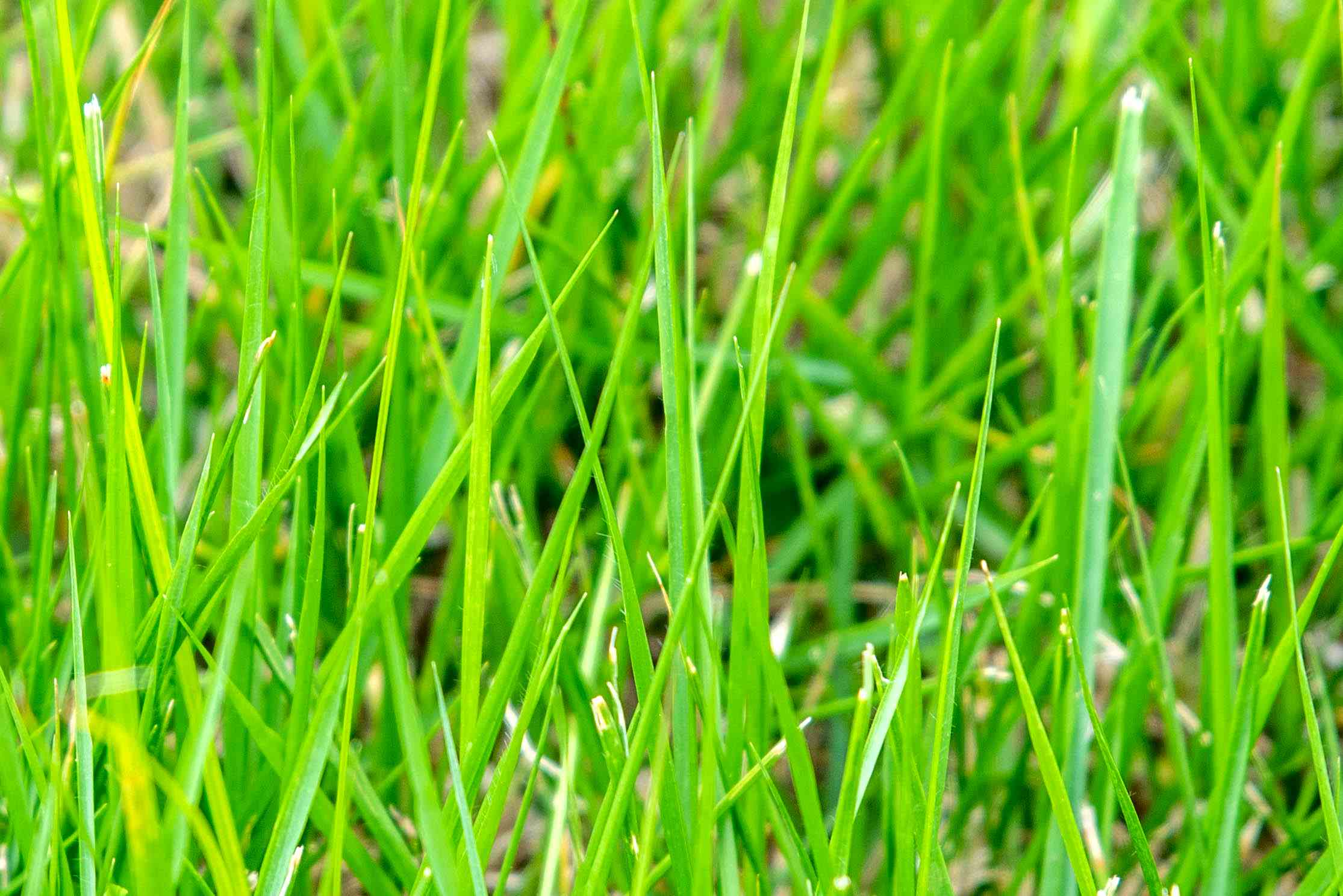 Zoysia grass bright green blades closeup