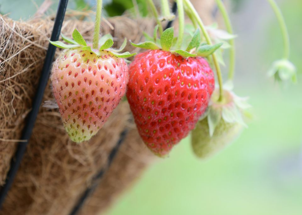 Strawberries Growing in a Hanging Basket
