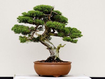 How To Grow And Care For Pine Bonsai