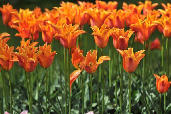 Orange ballerina tulips blooming