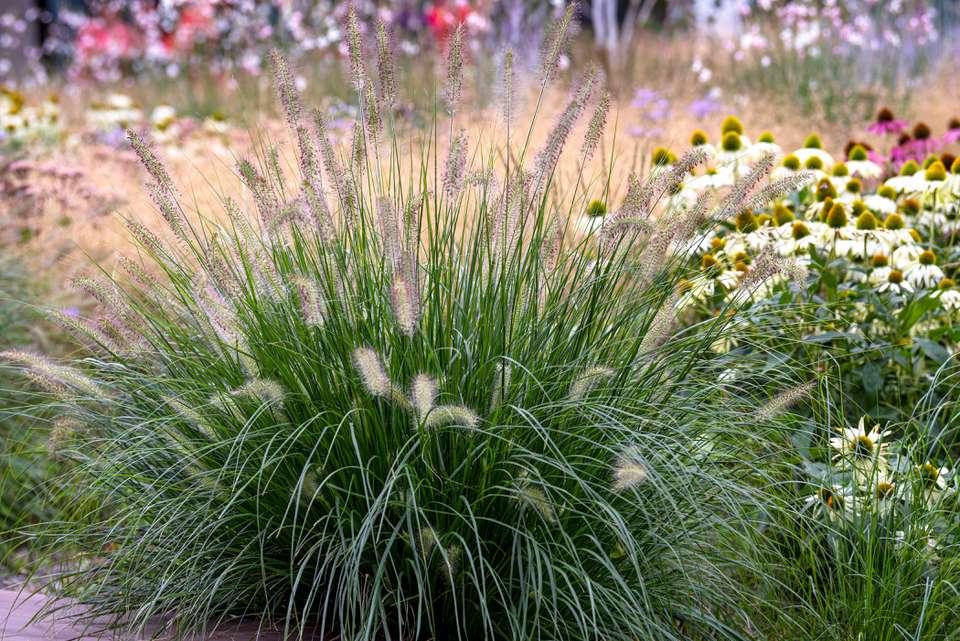Pennisetum ornamental grass with thin green blades with soft, fluffy heads in flower garden