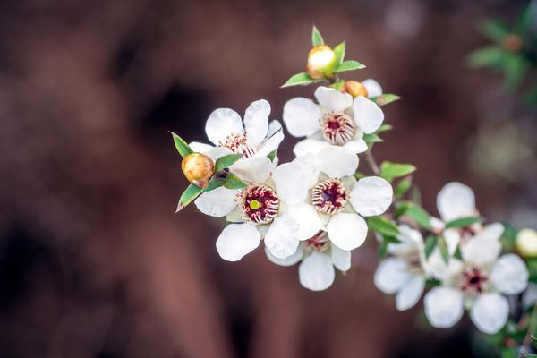 New Zealand tea tree with small white blossoms and round yellow buds on edge of stem closeup