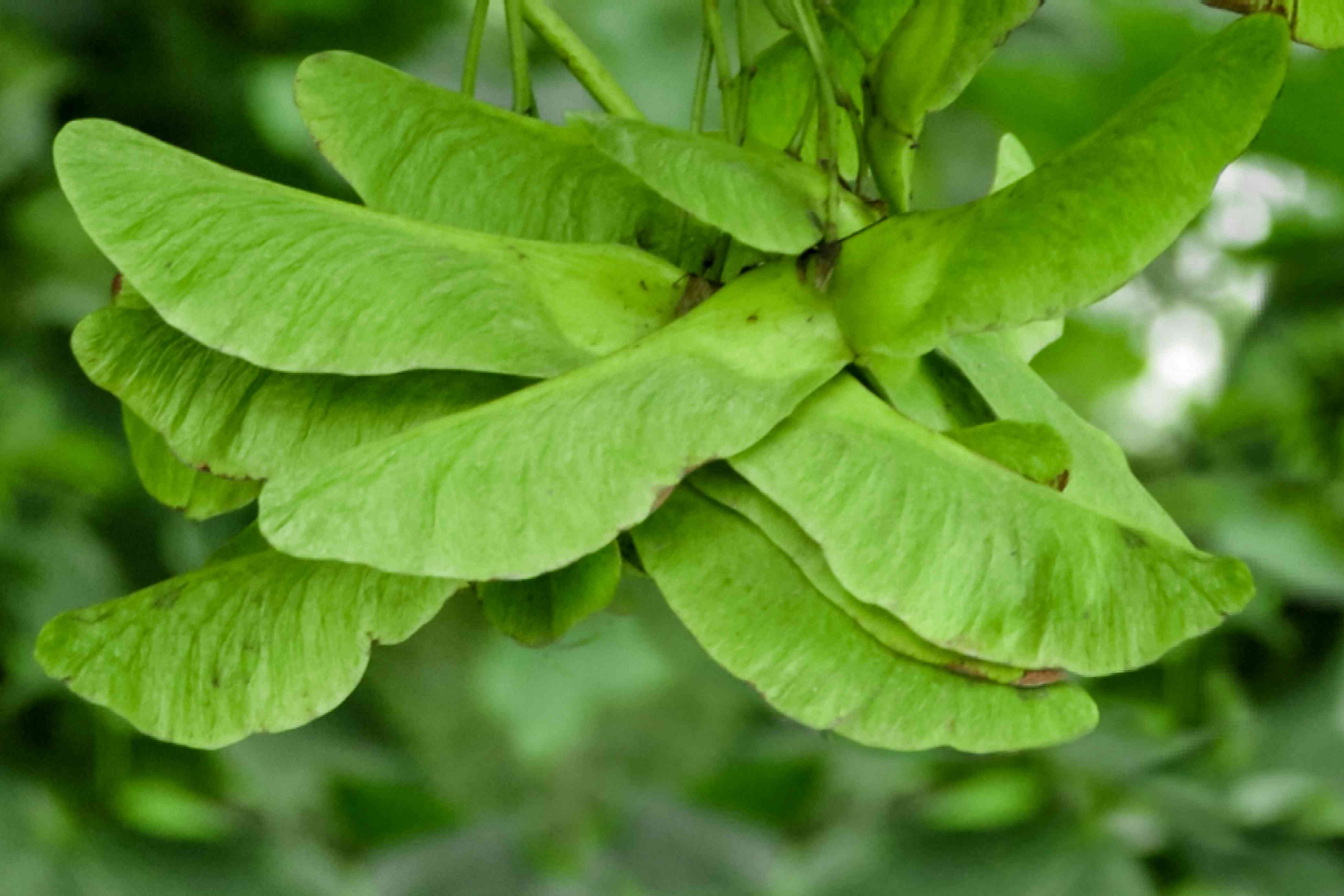 Boxelder tree leaves with irregular and toothed edges closeup