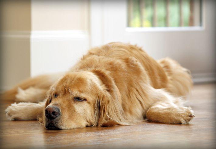 Golden retriever dog sleeping on wood floor
