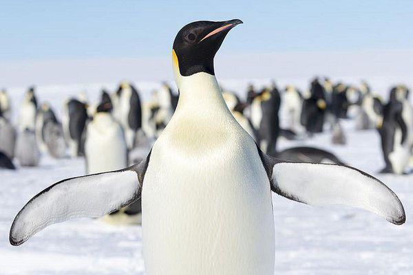 Emperor Penguin Flippers