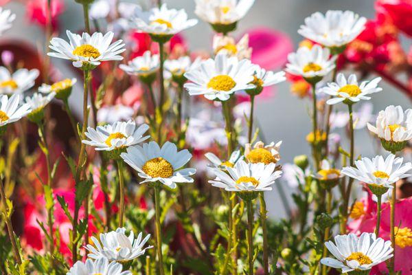 Nippon or Montauk daisies
