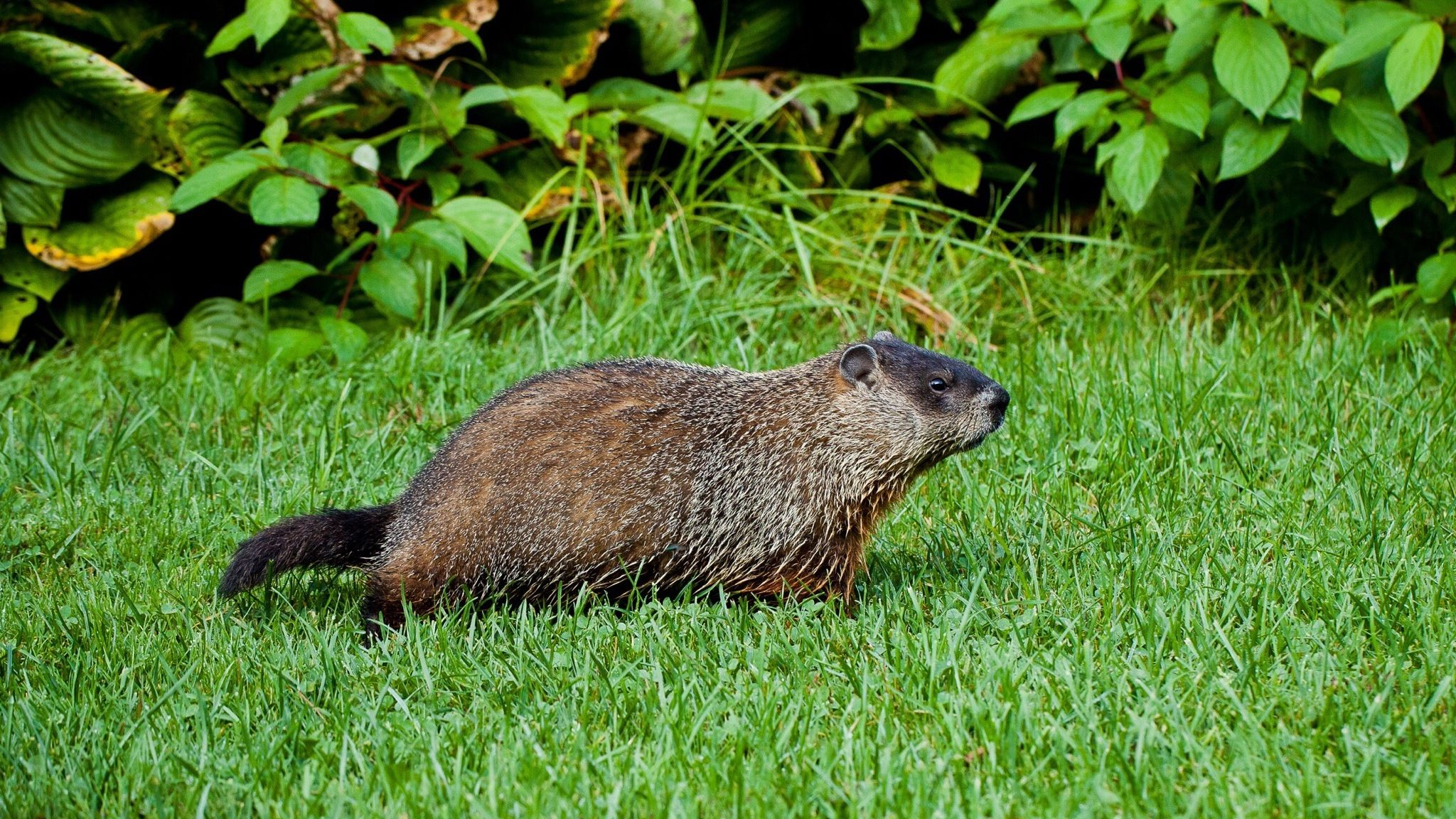 Rid Your Yard Of Groundhogs