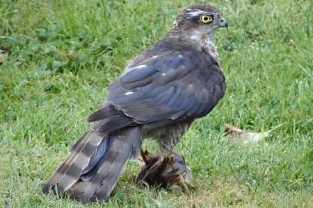 How To Get Rid Of Birds In Backyard protect backyard birds from hawks