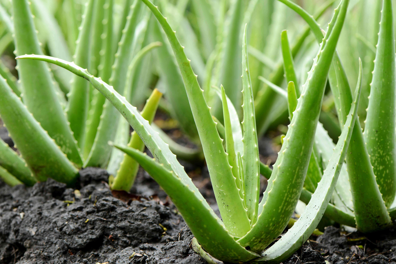 Crecimiento de la planta de aloe vera en la granja