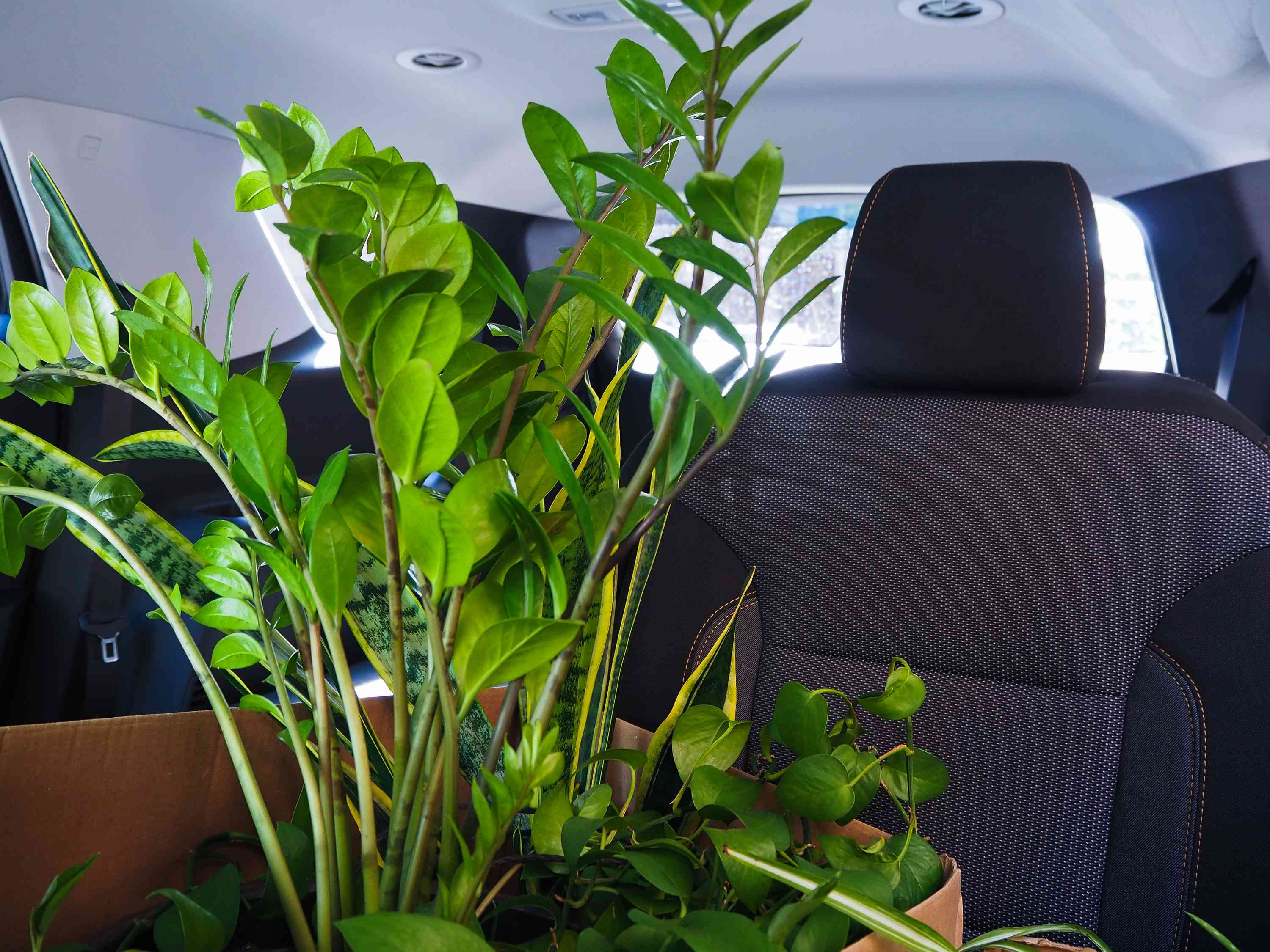 Moving houseplants in a box in the backseat of a car