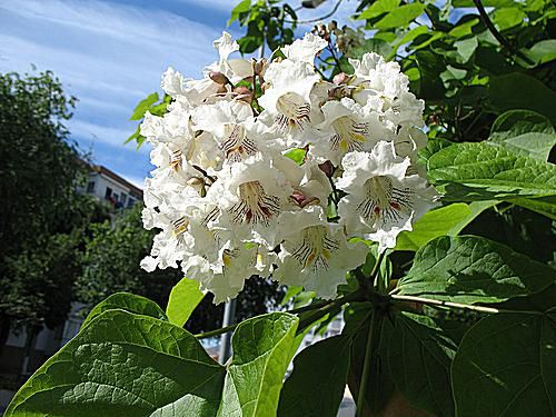 Southern Catalpa is the common name for Catalpa bignonioides.
