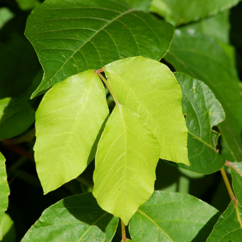 This poison ivy leaf picture displays the three leaflets for which it is infamous.