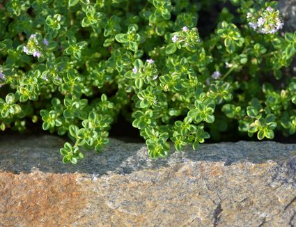 Close up of lemon thyme leaves in a herb garden with its typical lavender colored flowers.