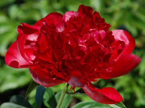 Red Charm Peonies Live A Charmed Life In Your Landscape